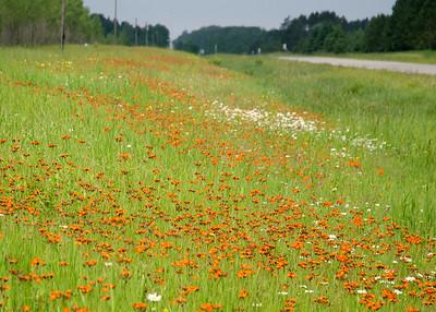 Highway 1 east of Effie, MN devil's-paintbrush, grim-the-collier, orange hawkweed, red daisy
