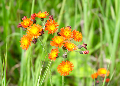 devil's-paintbrush, grim-the-collier, orange hawkweed, red daisy