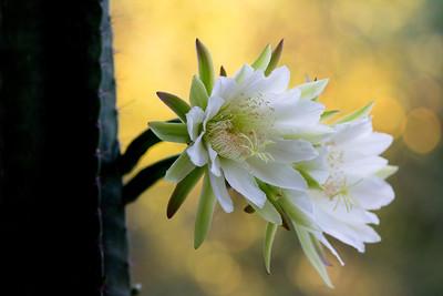 cactus-6934