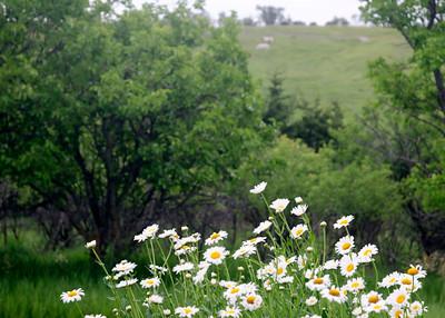 prairie_flowers 047
