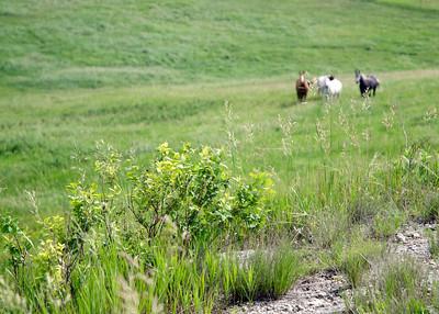prairie_flowers 098