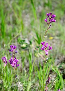 prairie_flowers 101
