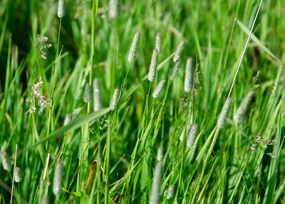 prairie_flowers 013