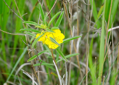 prairie_flowers 061