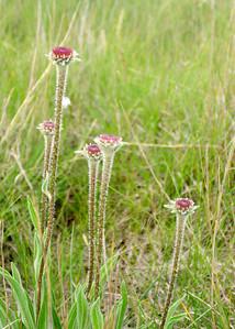 prairie_flowers 069