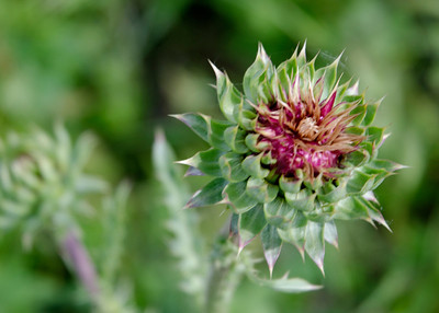 prairie_flowers 091