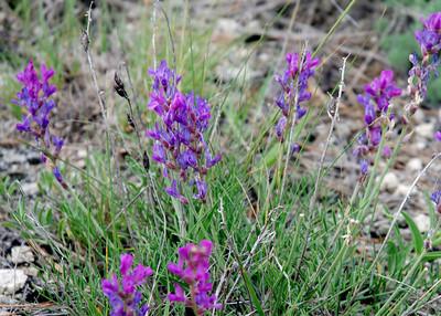 prairie_flowers 063