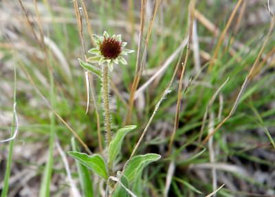 prairie_flowers 099