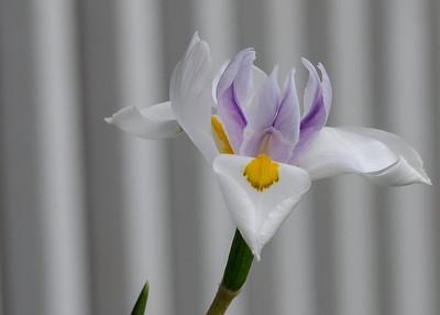 iris-7636
