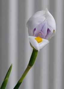 iris-7629