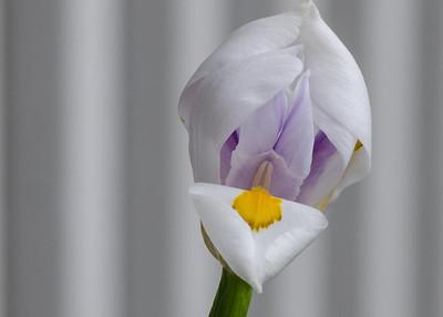 iris-7630
