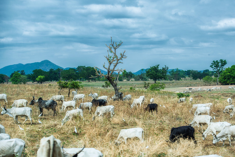 Birds and cows in Nigeria