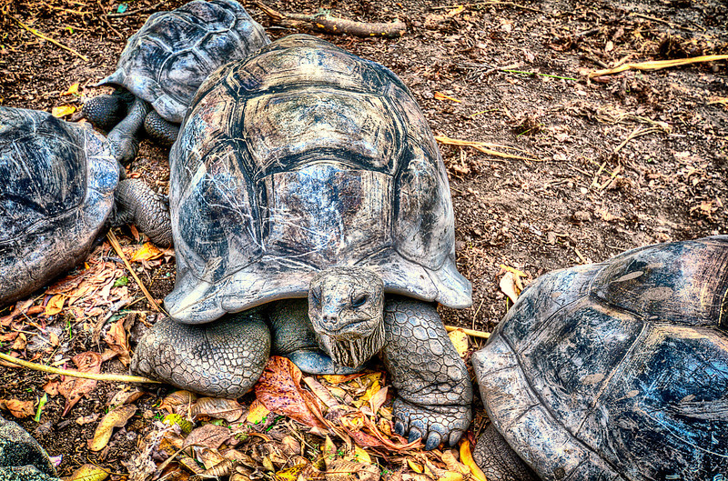 Oldest inhabitants in Seychelles. <br /> Old like World, slow like Time, Proud like Nature