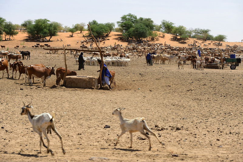 Cattle market in MALI