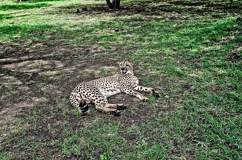 Cheetah resting in shade.<br /> Cheetah's can be still for more than 6 hours...