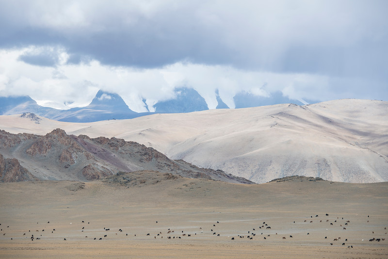 Snow and cows. Mongolia's Altai