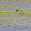 """Glossy Ibis • White-faced Ibis <br> Black-necked Stilt • Blue-winged Teal <br> Clarence Cannon National Wildlife Refuge<br> 05/21/17 <br>  <span class=""""noShowSmart""""> <a href=""""/MyKeywords/Bird-Videos/n-gF9bt/i-2Chwcvk/A""""> <span style=""""color:yellow"""">Click here to open video in lightbox/full screen/full screen</span></a> </span>  <span class=""""noShowGallery""""> <a href=""""/Birds/2017-Birding/Birding-2017-May/2017-05-21-Clarence-Cannon-NWR/i-2Chwcvk/A""""> <span style=""""color:yellow"""">Click here to open video in lightbox/full screen/full screen</span></a> </span>"""