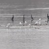 "Double Crested Cormorants • gulls • American White Pelicans <br> Ellis Bay <br> Riverlands Migratory Bird Sanctuary <br> 2018-03-28 3:28:12 <br>  <span class=""noShowSmart""> <a href=""/MyKeywords/Bird-Videos/n-gF9bt/i-2tNhN2Q/A""> <span style=""color:yellow"">Click here to open video in lightbox/full screen</span></a> </span>  <span class=""noShowGallery""> <a href=""/Birds/2018-Birding/Birding-2018-March/2018-03-28-Riverlands-Migratory-Bird-Sanctuary/i-2tNhN2Q/A""> <span style=""color:yellow"">Click here to open video in lightbox/full screen</span></a> </span>"
