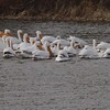 American White Pelicans <br /> Hideaway Harbor Park