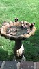 """House Sparrows bathing <span class=""""spacer_LB_caption""""> • </span> <br> Out front window <span class=""""spacer_LB_caption""""> • </span> <br> City of Bridgeton <span class=""""spacer_LB_caption""""> • </span> <br> St. Louis County, Missouri <span class=""""spacer_LB_caption""""> • </span> <br> 2020-09-13 <br>  <center> <span class=""""noShowSmart""""> <a href=""""/MyKeywords/Bird-Videos/n-gF9bt/i-9n7Wght/A""""> <span style=""""color:yellow"""">Click here to open video in lightbox/full screen</span></a> </span>  <span class=""""noShowGallery""""> <a href=""""/Birds/2020-Birding/Birding-2020-September/2020-September-Yardbirds/i-9n7Wght/A""""> <span style=""""color:yellow"""">Click here to open video in lightbox/full screen</span></a> </span><br> </center>"""