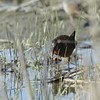 "Virginia Rail <br> Heron Pond  <br> Riverlands Migratory Bird Sanctuary <br> 2018-04-29 4:37pm <br>  <span class=""noShowSmart""> <a href=""/MyKeywords/Bird-Videos/n-gF9bt/i-9sDB7FV/A""> <span style=""color:yellow"">Click here to open video in lightbox/full screen</span></a> </span>  <span class=""noShowGallery""> <a href=""/Birds/2018-Birding/Birding-2018-April/2018-04-29-Riverlands-Migratory-Bird-Sanctuary/i-9sDB7FV/A""> <span style=""color:yellow"">Click here to open video in lightbox/full screen</span></a> </span>"