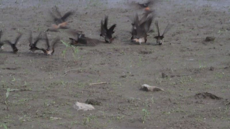 "Cliff Swallows <br> Gathering mud for their nests <br> Ellis Island Lagoon  <br> Riverlands Migratory Bird Sanctuary <br> 2018-05-21 16:22:44 <br>  <span class=""noShowSmart""> <a href=""/MyKeywords/Bird-Videos/n-gF9bt/i-BMNsFRh/A""> <span style=""color:yellow"">Click here to open video in lightbox/full screen</span></a> </span>  <span class=""noShowGallery""> <a href=""/Birds/2018-Birding/Birding-2018-May/2018-05-21-Riverlands-Migratory-Bird-Sanctuary/i-BMNsFRh/A""> <span style=""color:yellow"">Click here to open video in lightbox/full screen</span></a> </span>"