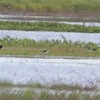 """Glossy Ibis • White-faced Ibis <br> Black-necked Stilt <br> Clarence Cannon National Wildlife Refuge<br> 05/21/17 <br>  <span class=""""noShowSmart""""> <a href=""""/MyKeywords/Bird-Videos/n-gF9bt/i-DvbMvQL/A""""> <span style=""""color:yellow"""">Click here to open video in lightbox/full screen</span></a> </span>  <span class=""""noShowGallery""""> <a href=""""/Birds/2017-Birding/Birding-2017-May/2017-05-21-Clarence-Cannon-NWR/i-DvbMvQL/A""""> <span style=""""color:yellow"""">Click here to open video in lightbox/full screen</span></a> </span>"""