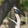 """Belted Kingfisher  <br> Boardwalk slough <br> Columbia Bottom Conservation Area <br> 2017-06-27  <br> <span class=""""noShowSmart""""> <a href=""""/MyKeywords/Bird-Videos/n-gF9bt/i-F7mFLsD/A""""> <span style=""""color:yellow"""">Click here to open video in lightbox/full screen</span></a> </span>  <span class=""""noShowGallery""""> <a href=""""/Birds/2017-Birding/Birding-2017-June/2017-06-27-Hazelwood-WEKI-and-Columbia-Bottom-CA/i-F7mFLsD/A""""> <span style=""""color:yellow"""">Click here to open video in lightbox/full screen</span></a> </span>"""
