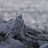 "Snowy Owl <br> Riverlands Migratory Bird Sanctuary <br> 12.15.17 3.47pm <br>  <span class=""noShowSmart""> <a href=""/MyKeywords/Bird-Videos/n-gF9bt/i-rRBKSjz/A""> <span style=""color:yellow"">Click here to open video in lightbox/full screen</span></a> </span>  <span class=""noShowGallery""> <a href=""/Birds/2017-Birding/Birding-2017-December/2017-12-15-Rockwoods-and-RMBS/i-FM4hCsz/A""> <span style=""color:yellow"">Click here to open video in lightbox/full screen</span></a> </span>"