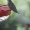 "Ruby-throated Hummingbird  <br> Visiting front window feeder <br> Bridgeton, Mo <br> 2018-10-30 12:51:37 <br>  <span class=""noShowSmart""> <a href=""/MyKeywords/Bird-Videos/n-gF9bt/i-FZW6r65/A""> <span style=""color:yellow"">Click here to open video in lightbox/full screen</span></a> </span>  <span class=""noShowGallery""> <a href=""/Birds/2018-Birding/Birding-2018-October/2018-October-Yardbirds/i-FZW6r65/A""> <span style=""color:yellow"">Click here to open video in lightbox/full screen</span></a> </span>"