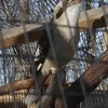 "Laughing Kookaburra  <br> World Bird Sanctuary <br> St. Louis County, Mo. <br> 2018-02-25 <br>  <span class=""noShowSmart""> <a href=""/MyKeywords/Bird-Videos/n-gF9bt/i-HDB2rVx/A""> <span style=""color:yellow"">Click here to open video in lightbox/full screen</span></a> </span>  <span class=""noShowGallery""> <a href=""/Birds/2018-Birding/Birding-2018-February/2018-02-25-World-Bird-Sanctuary/i-HDB2rVx/A""> <span style=""color:yellow"">Click here to open video in lightbox/full screen</span></a> </span>"