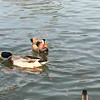 "Mandarin Duck and Mallards <br> St. Ferdinand Park <br> Florissant, MO <br> 2018-11-17 02:35:49 <br>  <span class=""noShowSmart""> <a href=""/MyKeywords/Bird-Videos/n-gF9bt/i-HtmFNkF/A""> <span style=""color:yellow"">Click here to open video in lightbox/full screen</span></a> </span>  <span class=""noShowGallery""> <a href=""/Birds/2018-Birding/Birding-2018-November/2018-11-17-Mandarin-Duck-of-St-Ferdinand-Park/i-HtmFNkF/A""> <span style=""color:yellow"">Click here to open video in lightbox/full screen</span></a> </span>"