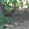 """Brown Thrasher <br> Bridgeton, Mo <br> 2017-07-25 11:51:18 <br>  <span class=""""noShowSmart""""> <a href=""""/MyKeywords/Bird-Videos/n-gF9bt/i-J4zb5bs/A""""> <span style=""""color:yellow"""">Click here to open video in lightbox/full screen</span></a> </span>  <span class=""""noShowGallery""""> <a href=""""/Birds/2017-Birding/Birding-2017-July/2017-07-July-Yardbirds/i-J4zb5bs/A""""> <span style=""""color:yellow"""">Click here to open video in lightbox/full screen</span></a> </span>"""