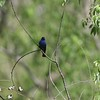 "Indigo Bunting <br> Riverwoods Park and Trail <br> Bridgeton, Mo <br> 2018-05-05 18:14:14 <br>  <span class=""noShowSmart""> <a href=""/MyKeywords/Bird-Videos/n-gF9bt/i-vwHjLtW/A""> <span style=""color:yellow"">Click here to open video in lightbox/full screen</span></a> </span>  <span class=""noShowGallery""> <a href=""/Birds/2018-Birding/Birding-2018-May/2018-05-05-Riverwoods-Trail/i-vwHjLtW/A""> <span style=""color:yellow"">Click here to open video in lightbox/full screen</span></a> </span>"