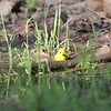 "Yellow Warbler <br> Riverwoods Park and Trail <br> Bridgeton, Mo <br> 2018-05-05 17:35:59 <br>  <span class=""noShowSmart""> <a href=""/MyKeywords/Bird-Videos/n-gF9bt/i-JrfsPFH/A""> <span style=""color:yellow"">Click here to open video in lightbox/full screen</span></a> </span>  <span class=""noShowGallery""> <a href=""/Birds/2018-Birding/Birding-2018-May/2018-05-05-Riverwoods-Trail/i-JrfsPFH/A""> <span style=""color:yellow"">Click here to open video in lightbox/full screen</span></a> </span>"