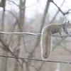 """Must be 1st time on wire. <br> Bridgeton, MO <br> 2017.03.06 <br><br>  <span class=""""noShowSmart""""> <a href=""""/MyKeywords/Bird-Videos/n-gF9bt/i-MWZKSzm/A""""> <span style=""""color:yellow"""">Click here to open video in lightbox/full screen</span></a> </span>  <span class=""""noShowGallery""""> <a href=""""/Birds/2017-Birding/Birding-2017-March/2017-03-March-Yardbirds/i-MWZKSzm/A""""> <span style=""""color:yellow"""">Click here to open video in lightbox/full screen</span></a> </span>"""