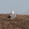 "Snowy Owl <br> Between 367 and Ellis Island Road <br> Riverlands Migratory Bird Sanctuary <br>  <span class=""noShowSmart""> <a href=""/MyKeywords/Bird-Videos/n-gF9bt/i-PkKQWgB/A""> <span style=""color:yellow"">Click here to open video in lightbox/full screen</span></a> </span>  <span class=""noShowGallery""> <a href=""/Birds/2017-Birding/Birding-2017-December/2017-12-20-Riverlands-Migratory-Bird-Sanctuary/i-PkKQWgB/A""> <span style=""color:yellow"">Click here to open video in lightbox/full screen</span></a> </span>"