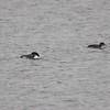 "Common Loons <br> Ellis Bay <br> Riverlands Migratory Bird Sanctuary <br> 2017-11-04 13:41:16 <br>  <span class=""noShowSmart""> <a href=""/MyKeywords/Bird-Videos/n-gF9bt/i-SdvSCdM/A""> <span style=""color:yellow"">Click here to open video in lightbox/full screen</span></a> </span>  <span class=""noShowGallery""> <a href=""/Birds/2017-Birding/Birding-2017-November/2017-11-04-Riverlands-Migratory-Bird-Sanctuary/i-SdvSCdM/A""> <span style=""color:yellow"">Click here to open video in lightbox/full screen</span></a> </span>"