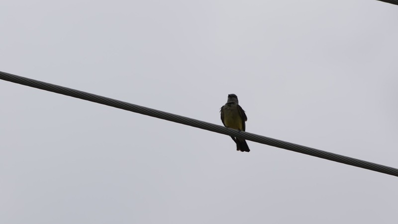 """Western Kingbirds <span class=""""spacer_LB_caption""""> • </span> <br> In front of Tightline Building <span class=""""spacer_LB_caption""""> • </span> <br> Hazelwood Logistics Center Dr.  <span class=""""spacer_LB_caption""""> • </span> <br> City of Hazelwood  <span class=""""spacer_LB_caption""""> • </span> <br> St. Louis County Mo."""