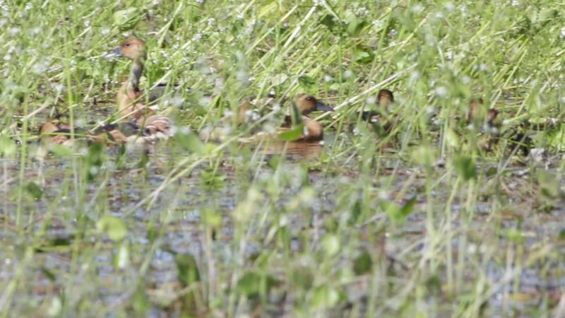 Fulvous Whistling-Ducks <br /> Monroe County, Illinois