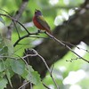 "Painted Bunting <br> Yarnell Road in Fenton Mo.  <br> St. Louis County <br> 2019-06-06 13:02:16 <br>  <span class=""noShowSmart""> <a href=""/MyKeywords/Bird-Videos/n-gF9bt/i-cxF8KV9/A""> <span style=""color:yellow"">Click here to open video in lightbox/full screen</span></a> </span>  <span class=""noShowGallery""> <a href=""/Birds/2019-Birding/Birding-2019-June/2019-06-06-Painted-Bunting/i-cxF8KV9/A""> <span style=""color:yellow"">Click here to open video in lightbox/full screen</span></a> </span>"