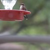 "Ruby-throated Hummingbird <br> Bridgeton, Mo <br> 2017-10-11 <br>  <span class=""noShowSmart""> <a href=""/MyKeywords/Bird-Videos/n-gF9bt/i-hQ8Vb73/A""> <span style=""color:yellow"">Click here to open video in lightbox/full screen</span></a> </span>  <span class=""noShowGallery""> <a href=""/Birds/2017-Birding/Birding-2017-October/2017-10-October-Yardbirds/i-hQ8Vb73/A""> <span style=""color:yellow"">Click here to open video in lightbox/full screen</span></a> </span>"