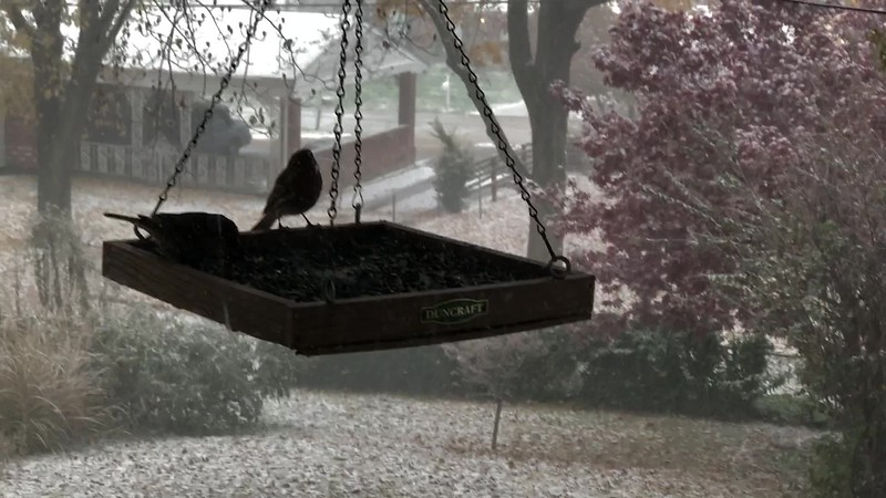 "It's snowing!  <span class=""spacer_LB_caption""> • </span> <br> Backyard feeders  <span class=""spacer_LB_caption""> • </span> <br> Bridgeton, St. Louis County, Missouri   <span class=""spacer_LB_caption""> • </span>  <span class=""spacer_LB_caption""> • </span> <br> 2019-11-11 <br>  <span class=""noShowSmart""> <a href=""/MyKeywords/Bird-Videos/n-gF9bt/i-jKrkctj/A""> <span style=""color:yellow"">Click here to open video in lightbox/full screen</span></a> </span>  <span class=""noShowGallery""> <a href=""/Birds/2019-Birding/Birding-2019-November/2019-November-Yardbirds/i-jKrkctj/A""> <span style=""color:yellow"">Click here to open video in lightbox/full screen</span></a> </span>"