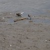 """Semipalmated Plover (leucistic) <br> and normal Semipalmated Plover <br>  (shot out van window with Canon 100-400 lens)<br>  Ellis Bay <br> Riverlands Migratory Bird Sanctuary <br> <br>  <span class=""""noShowSmart""""> <a href=""""/MyKeywords/Bird-Videos/n-gF9bt/i-q8ZtzZF/A""""> <span style=""""color:yellow"""">Click here to open video in lightbox/full screen</span></a> </span>  <span class=""""noShowGallery""""> <a href=""""/Birds/2017-Birding/Birding-2017-July/2017-07-31-Riverlands-Migratory-Bird-Sanctuary/i-q8ZtzZF/A""""> <span style=""""color:yellow"""">Click here to open video in lightbox/full screen</span></a> </span>"""