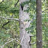 Pileated Woodpecker <br /> Shaw Nature Reserve <br /> 9/07/17 12:30pm