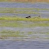 """Glossy Ibis • White-faced Ibis <br> Black-necked Stilt • Blue-winged Teal <br> Clarence Cannon National Wildlife Refuge<br> 05/21/17 <br>  <span class=""""noShowSmart""""> <a href=""""/MyKeywords/Bird-Videos/n-gF9bt/i-rXgsGgf/A""""> <span style=""""color:yellow"""">Click here to open video in lightbox/full screen</span></a> </span>  <span class=""""noShowGallery""""> <a href=""""/Birds/2017-Birding/Birding-2017-May/2017-05-21-Clarence-Cannon-NWR/i-rXgsGgf/A""""> <span style=""""color:yellow"""">Click here to open video in lightbox/full screen</span></a> </span>"""