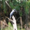 """Belted Kingfisher  <br> Boardwalk slough <br> Columbia Bottom Conservation Area <br> 2017-06-27  <br>  <span class=""""noShowSmart""""> <a href=""""/MyKeywords/Bird-Videos/n-gF9bt/i-tM4DgMF/A""""> <span style=""""color:yellow"""">Click here to open video in lightbox/full screen</span></a> </span>  <span class=""""noShowGallery""""> <a href=""""/Birds/2017-Birding/Birding-2017-June/2017-06-27-Hazelwood-WEKI-and-Columbia-Bottom-CA/i-tM4DgMF/A""""> <span style=""""color:yellow"""">Click here to open video in lightbox/full screen</span></a> </span>"""