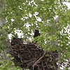 """Bald Eagles <br> Eagle Bluffs Conservation Area <br> 2019-05-11 18:52:23 <br>  <span class=""""noShowSmart""""> <a href=""""/MyKeywords/Bird-Videos/n-gF9bt/i-vDm5KZM/A""""> <span style=""""color:yellow"""">Click here to open video in lightbox/full screen</span></a> </span>  <span class=""""noShowGallery""""> <a href=""""/Birds/2019-Birding/Birding-2019-May/2019-05-11-Eagle-Bluffs-CA/i-vDm5KZM/A""""> <span style=""""color:yellow"""">Click here to open video in lightbox/full screen</span></a> </span>"""