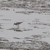 "Lesser Yellowlegs <br> Ellis Bay <br> Riverlands Migratory Bird Sanctuary <br> 2018-03-28 3:30:44 <br>  <span class=""noShowSmart""> <a href=""/MyKeywords/Bird-Videos/n-gF9bt/i-wb9Tn2K/A""> <span style=""color:yellow"">Click here to open video in lightbox/full screen</span></a> </span>  <span class=""noShowGallery""> <a href=""/Birds/2018-Birding/Birding-2018-March/2018-03-28-Riverlands-Migratory-Bird-Sanctuary/i-wb9Tn2K/A""> <span style=""color:yellow"">Click here to open video in lightbox/full screen</span></a> </span>"