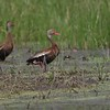 "Black-bellied Whistling-Ducks  <br> Little Creve Couer Marsh  <br> St. Louis County, Missouri  <br>  <span class=""noShowSmart""> <a href=""/MyKeywords/Bird-Videos/n-gF9bt/i-wxzdmX4/A""> <span style=""color:yellow"">Click here to open video in lightbox/full screen</span></a> </span>  <span class=""noShowGallery""> <a href=""/Birds/2019-Birding/Birding-2019-September/2019-09-10-Little-Creve-Couer-Marsh/i-wxzdmX4/A""> <span style=""color:yellow"">Click here to open video in lightbox/full screen</span></a> </span>"